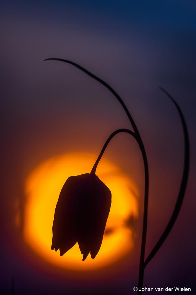 Kievitsbloem in het laatste licht ...