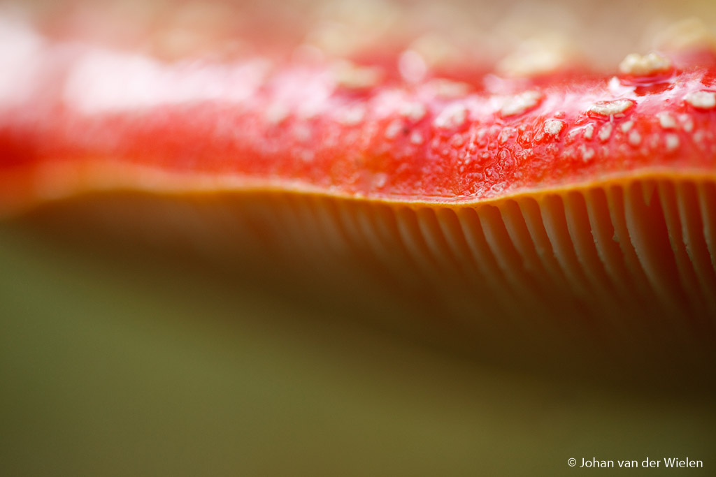 vliegenzwam; amanita muscaria; fly agaric