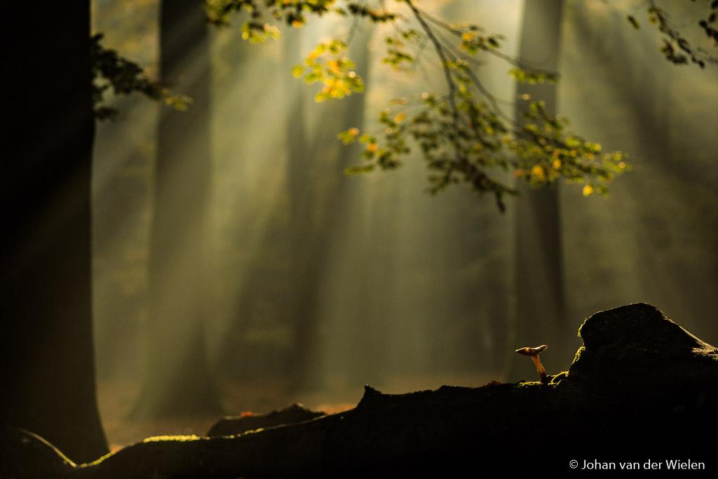 The magic of autumn...  Gistermorgen was herfst op het hoogtepunt. De beuken kleuren intens en door de koude nacht en de damp op de bladeren waren de bossen één groot spektakel van zonnestralen. De magie van de herfst!  groet Johan