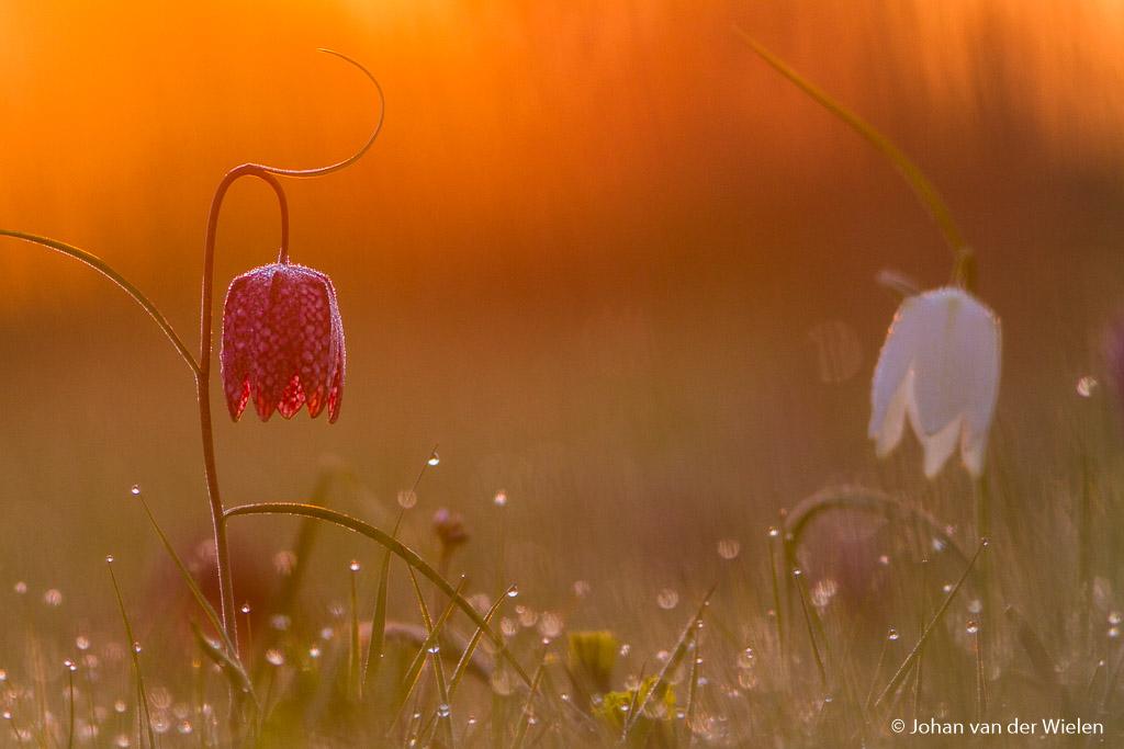kivietsbloem; Fritillaria meleagris; Fritillary