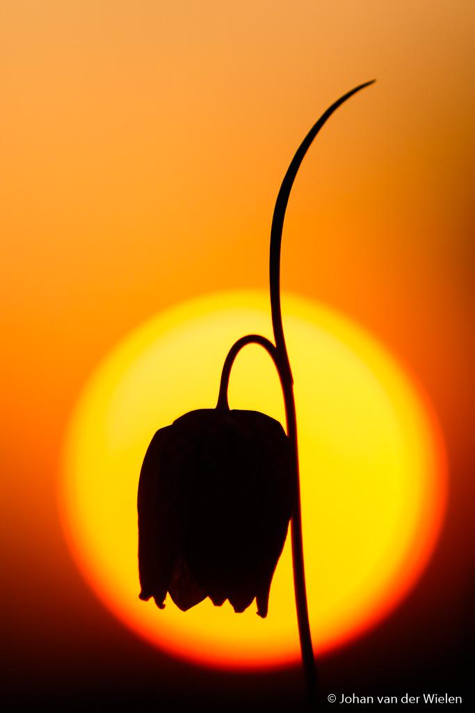 Fritillary silhouette.