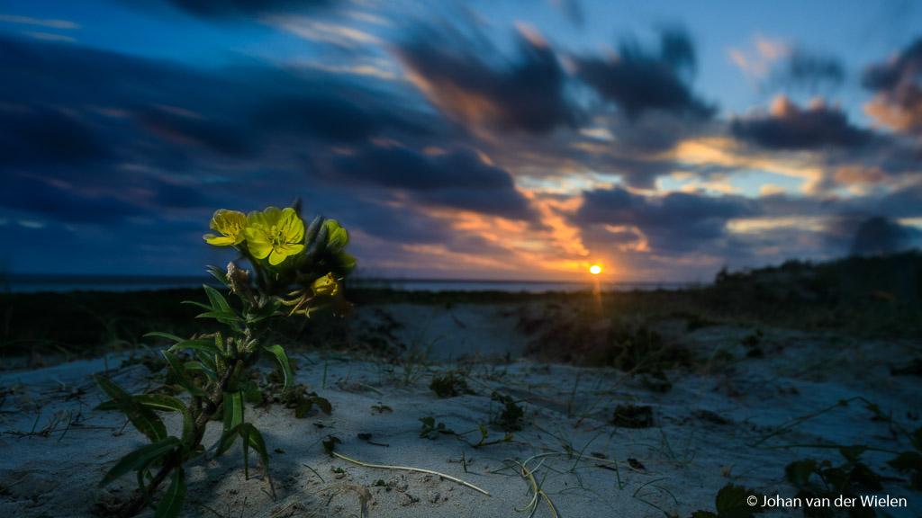 Schiermonnikoog Sunset  Afgelopen weekend was alweer het tweede 3 daagse wadden fotoworkshop ~ Avontuur op #Schiermonnikoog ~. In juni staat het eiland vol in bloei met orchideeën, kwelderplanten en deze teunisbloemen. Hoewel het weer niet zo zonovergoten was als gehoopt hadden we vrijdagavond even de zon in beeld voor meteen een sfeervol beeld aan het strand. Het voordeel van het grijze weer was echter wel dat juist macrobeelden van planten veel intenser kunnen zijn door gebruik van eigen (flits)licht of juist door de verzadigde kleuren en afwezigheid van soms hinderlijke schaduwpartijen. Al met al is er enorm hard gewerkt door de groep en heb ik tijdens de nabespreking op zaterdagavond prachtige beelden gezien!  Ook dit weekend was weer enorm snel volgeboekt maar voor de geïnteresseerden: er is nog plek in september. Aarzel niet en boek snel: https://www.johanvanderwielen.nl/waddenworkshop-schiermonn…/  groet Johan van der Wielen