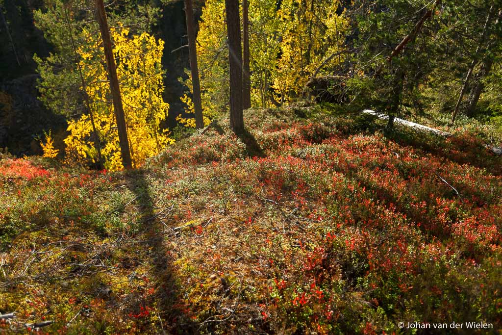 berk en bosbes in taiga bos in herfstkleuren
