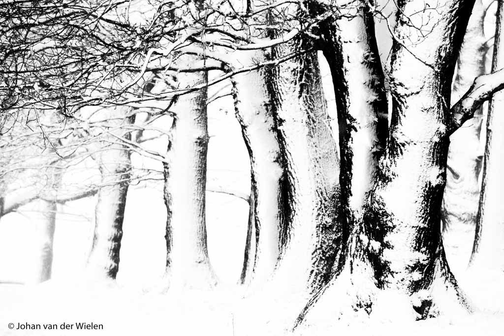 abstract zwart wit beeld van winterse bomen en besneeuwde boomstammen; abstract black and white image of winter trees and snow covered tree trunks