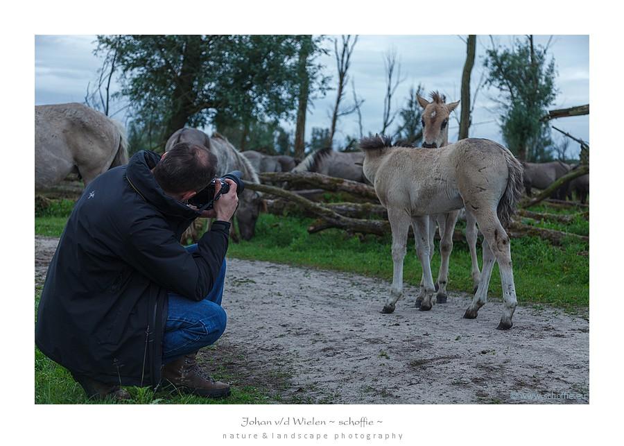 De Konik veulens zijn aandoenlijk in hun speelsheid en nieuwsgierigheid... een natte lens tot gevolg