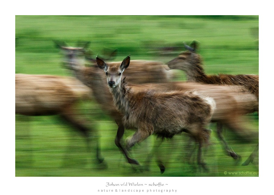 De leidster van de roedel vertrouwt het niet en brengt de herten op veilig afstand. In de dynamiek blijkt één hert toch nog nieuwsgierig