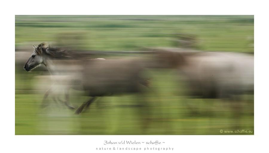 dynamiek bij de paarden, een indringer wordt weggejaagd