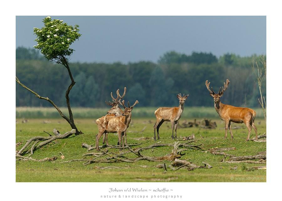 Bij één van de weinig kleine boompjes treffen en in het zonnetje een groepje herten. Ze zijn minder schuw dan de hindes en bekijken ons nieuwsgierig