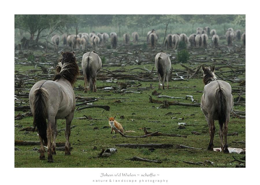 Aan het eind van de safari begon het te regenen. Terwijl de Koniks de regen gelaten over zich laten komen zit een vos in hun midden te mokken