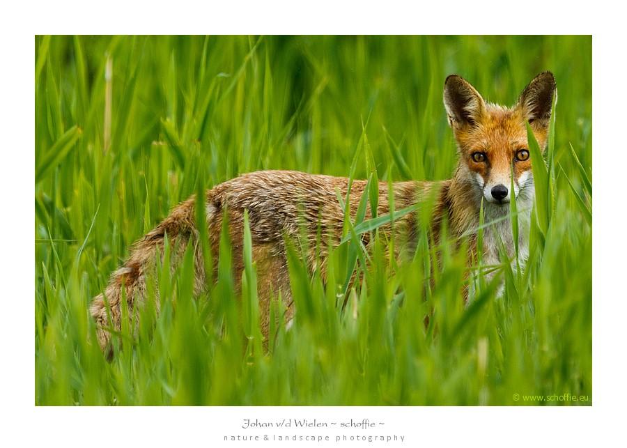 In het hoge gras staat een vos ons op te wachten... rent de ene vos weg... blijft de ander zonder problemen voor ons staan!
