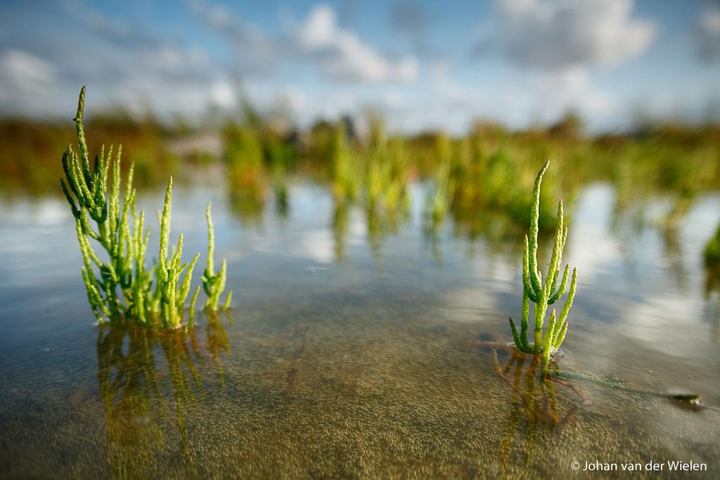 Macrolandschap van zeekraal in het ondiepe kwelderwater, 20mm standaard groothoek, Vlieland