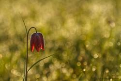 De Nederlandse tulp bloeit maar twee weken per jaar en ook nog maar op een paar plekken. Ontdek meer over het in de wind dansende klokje van deze unieke plant.