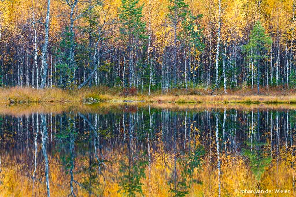 Taiga met berken in gele herfstkleur reflecteren in het water; Taiga with birch trees in yellow fall color reflecting in the water