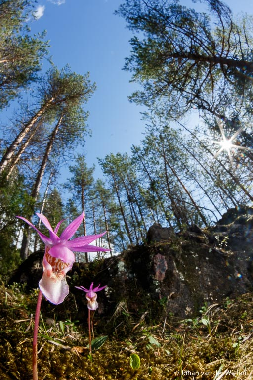 macrolandschap van kleine bosnimf orchidee, 10mm fisheye lens, Oulanka Finland