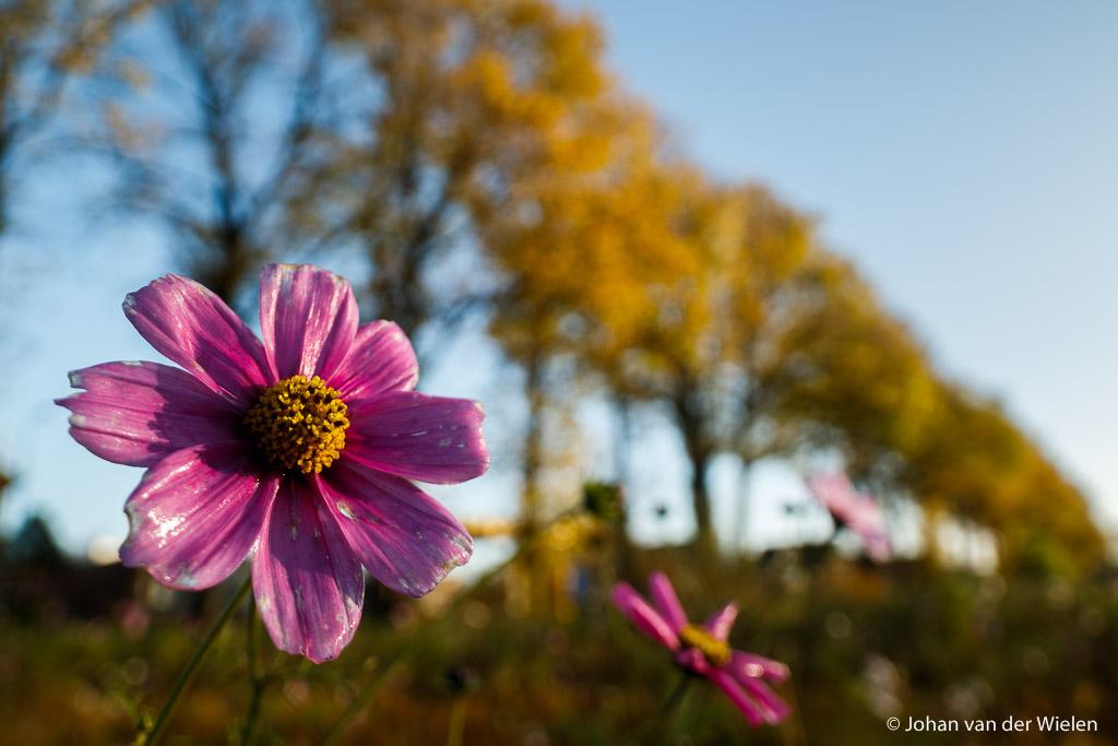 Laatste bloeiende bloemen van de herfst, vervreemde verhouding tussen de grote bloem en de bomenlaan in herfstkleuren, Laowa 15mm op 1,6x crop.