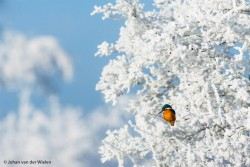 ijsvogel in hagelwitte rijp...