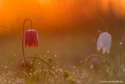 kivietsbloem in het gouden ochtendlicht; Fritillary in golden morning light