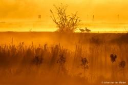 Grauwe ganzen in een goudgele zonsopkomst