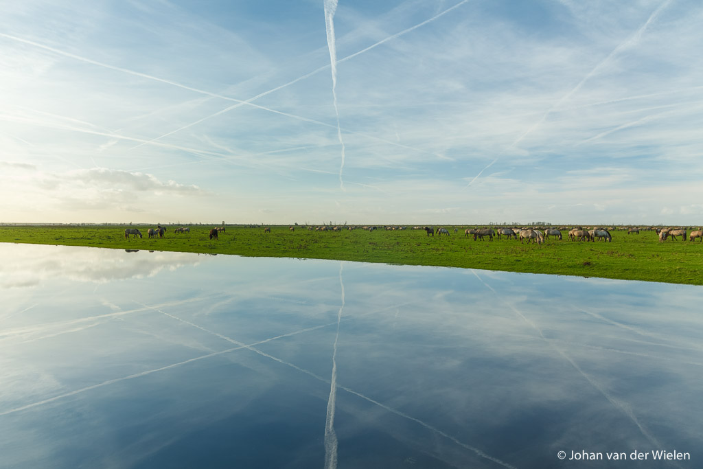 konikpaarden op de uitgestrekte vlakte van de oostvaardersplassen; Konik horses on the vast plain of the oostvaardersplassen