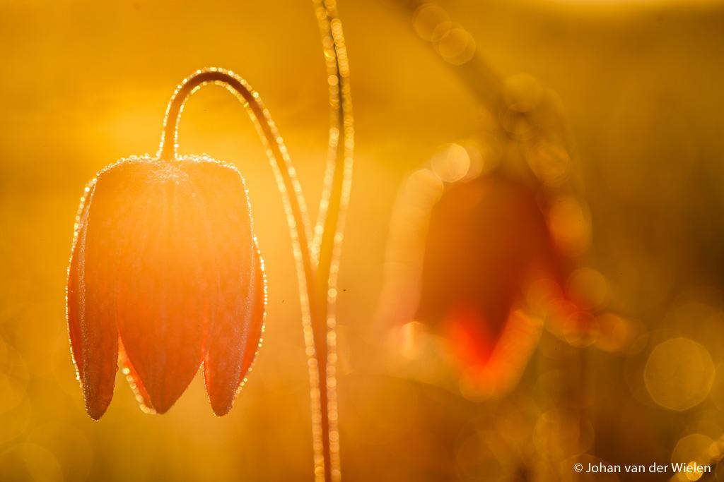 26 apr. 2010, kievitsbloemen bij zonsopkomst. Eindelijk - geluk! - gelukt het echt gouden licht te vangen.