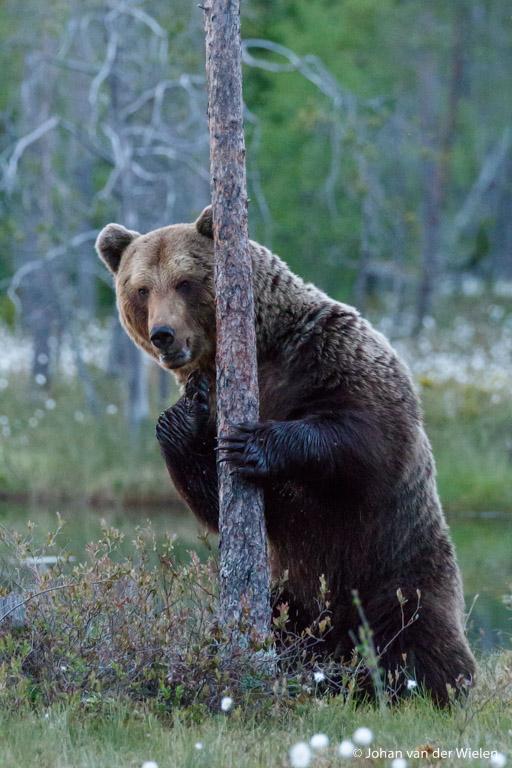 zelfde beer, andere boom... kijkend alsof hij op ons loerde
