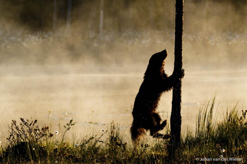 Een speelse veelvraat springt op tegen een boom...