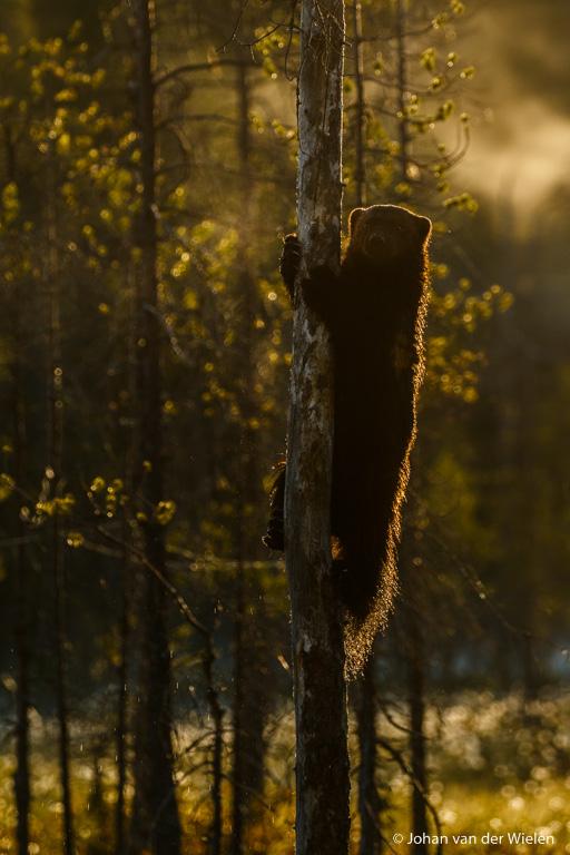 ... en of het nog niet genoeg is klimt hij nog in een andere boom, fraai tegenlicht met ademwolkje