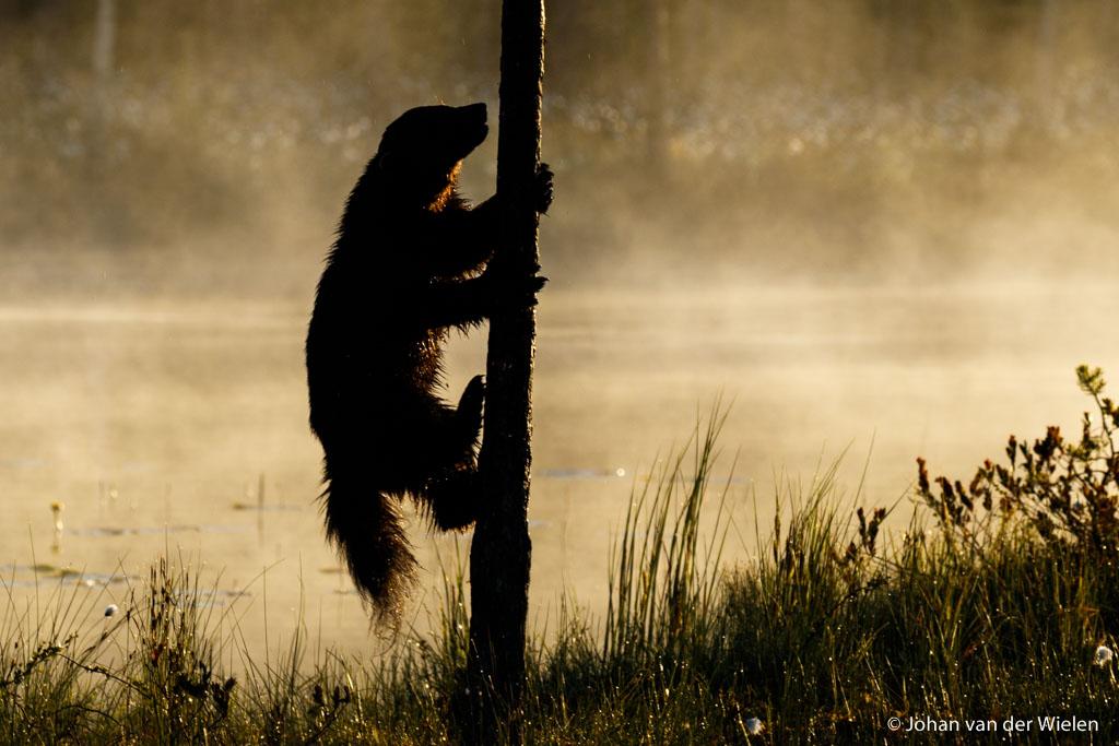 licht is perfect, ochtend mist is perfect, komt er ook nog een veelvraat... klimt hij zelfs in een boom èn kan ik het vastleggen... dat is dé kick
