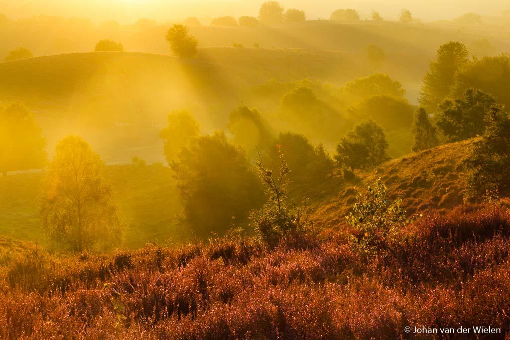 Gouden heide, door het gebruik van een lichte telelens èn de zon nèt buiten je beeld te houden krijg je het meest intense gouden licht vlak na zonsopkomst.