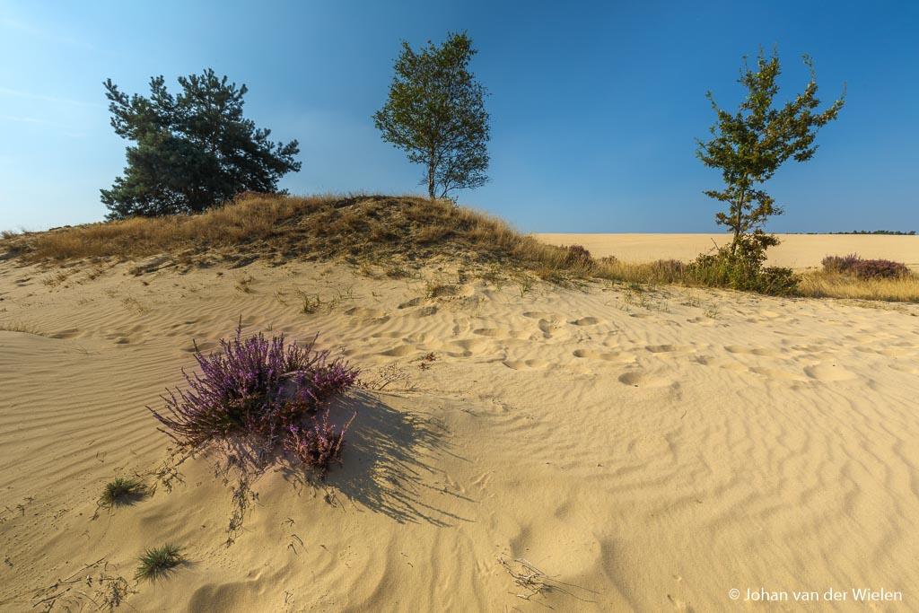 Een ander beeld van de Veluwse Woestijn, het laatste bloeiende heide plantje
