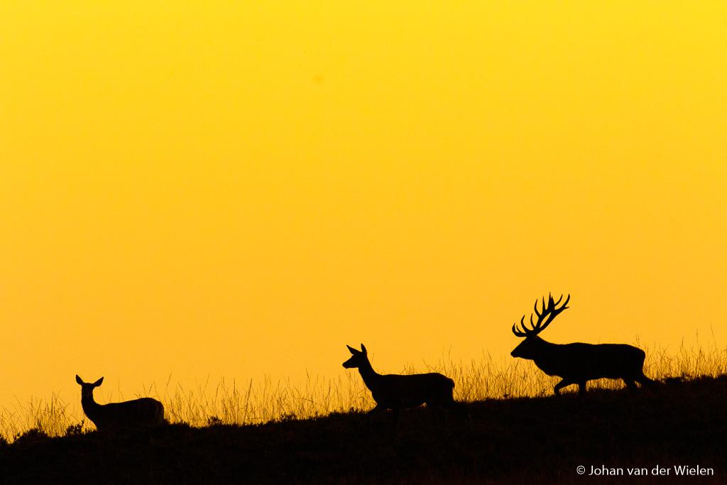 Achter de hindes aan… Door snel te bukken en vanaf de knie te fotograferen krijg ik een perfect silhouet op de heuvel met het licht van de inmiddels ondergegane zon.