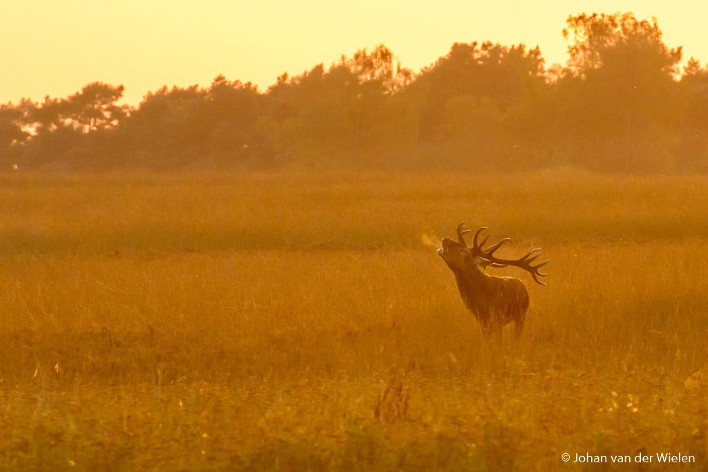 Het gouden licht geeft een schitterende toning van geeltinten en door de steeds kouder wordende lucht burlt het hert er niet alleen het indringende geluid maar ook een ademwolkje uit.