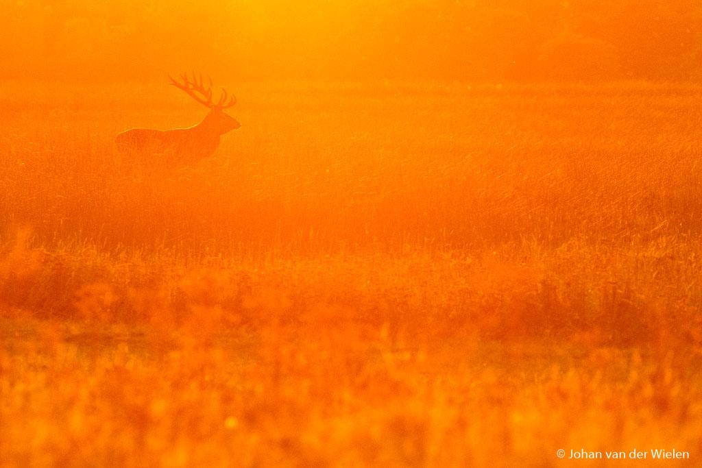 Het gouden licht waar ik zo dol op ben. Ik zorg ervoor dat de lage zon precies boven het hert staat, en puzzel net zo lang tot ik dit gouden licht in mijn beeld zie verschijnen.