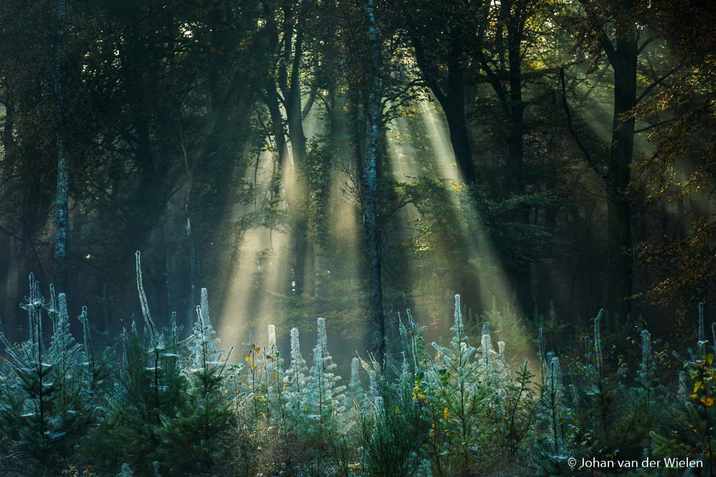 Zonnestralen boven een berijpte open plek met jonge naaldbomen
