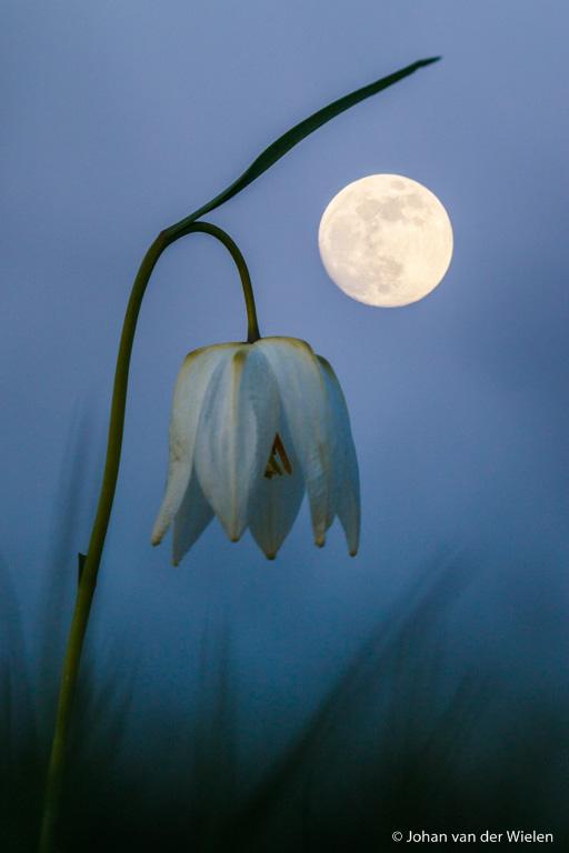 Combinatie van twee van mijn passies: kievitsbloemen en nachtfotografie