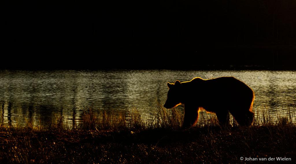 Eén van de beelden van mijn langgehoopt beren silhouet in ochtendlicht