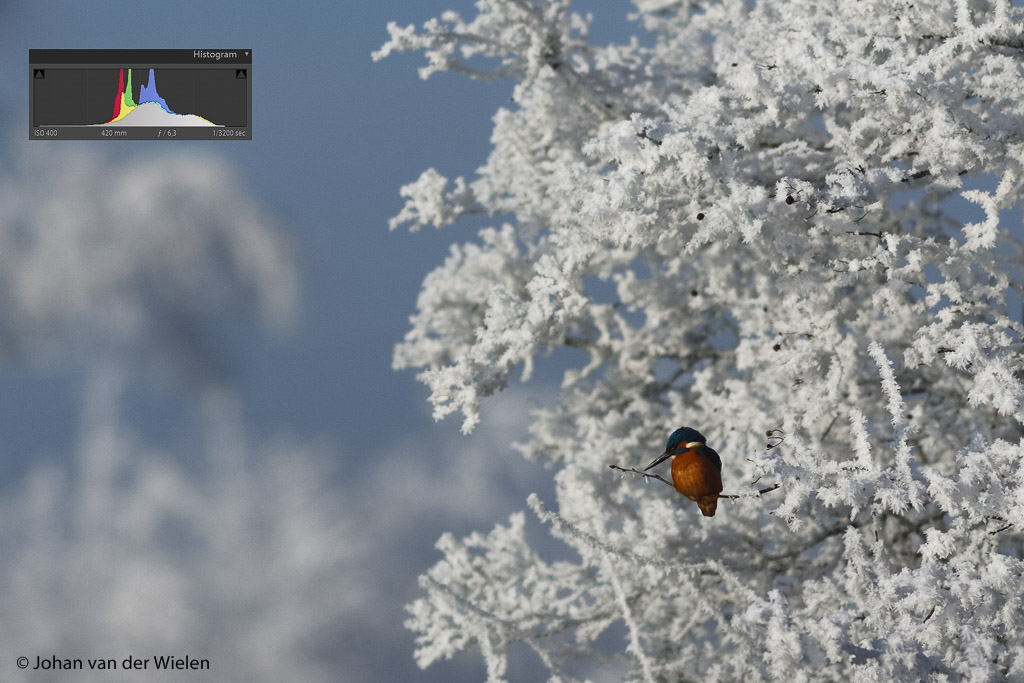 IJsvogel in de witte rijp. Geen correctie uitgevoerd en gewoon op stand automaat gefotografeerd. Resultaat? Een grijzige foto!