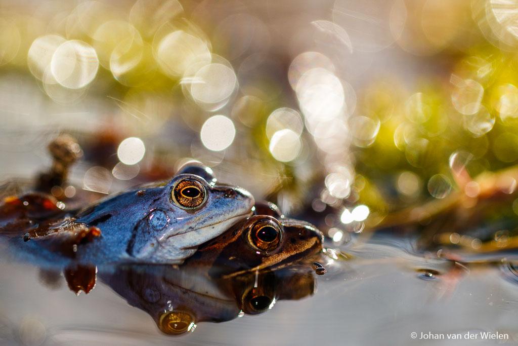 Niet alleen de macro fotografen hebben de voorjaar in de bol… een blauwtje lopen heeft voor de heidekikker een heel andere betekenis dan bij ons.
