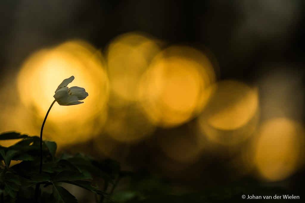 Bosanemoon in het spel van het licht van de ondergaande zon, een mooie achtergrond maakt je beeld