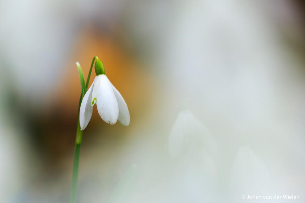 De eerste aankondigers van de lente… alleen zijn ze vaak al weg voor de macro fotograaf zijn lenzen uit het vet heeft kunnen halen