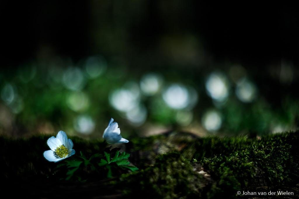 Het leuke van bosanemonen is de bosrijke omgeving met spel van licht en schaduwen