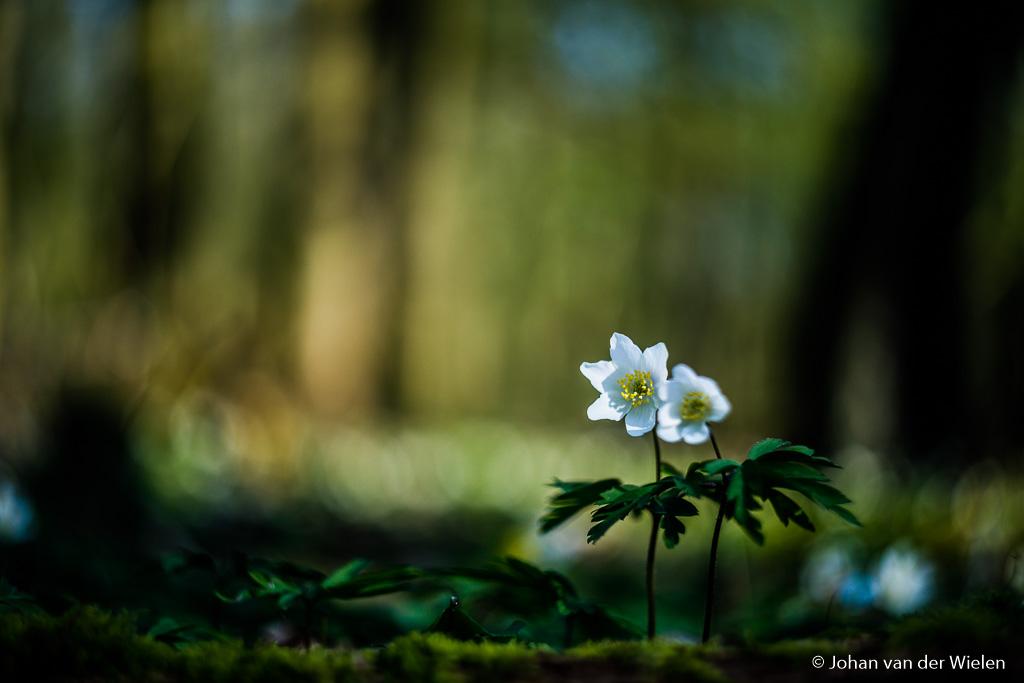 Een laatste foto van de bosanemoon… gewon om dat het zo'n schitterend plantje is wat ook mijn macro hart na de winter weer doet ontwaken.