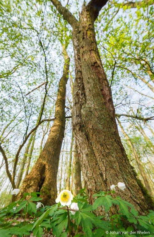 Bosanemonen in een 'magrove' bos, door de enorme groothoek kun je zelfs klein miniboompjes eruit laten zien als woudreuzen!