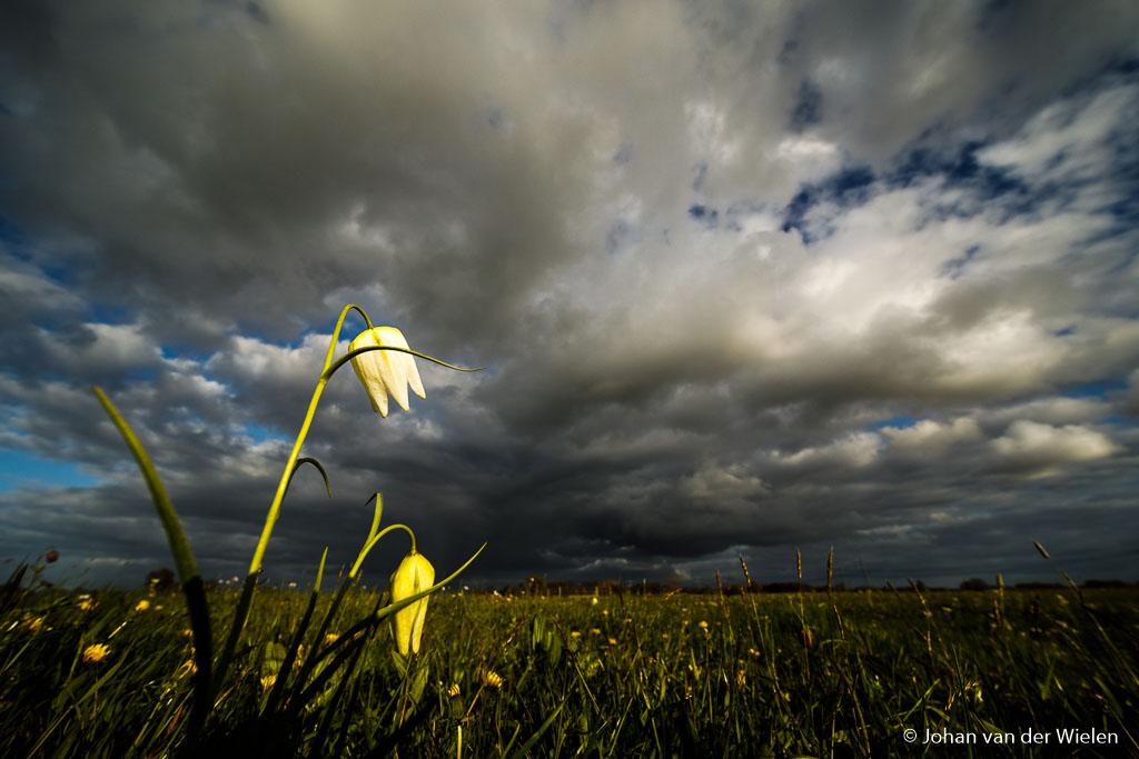 Terwijl de zon in de rug nog even 'mijn' kievitsbloemen verlicht kondigt de hemel het volgende weertype aan…