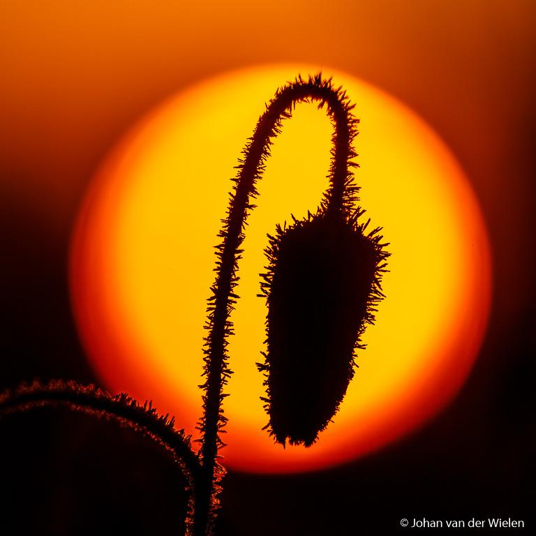 knop van een berijpte kievitsbloem als silhouet in de opkomende zon