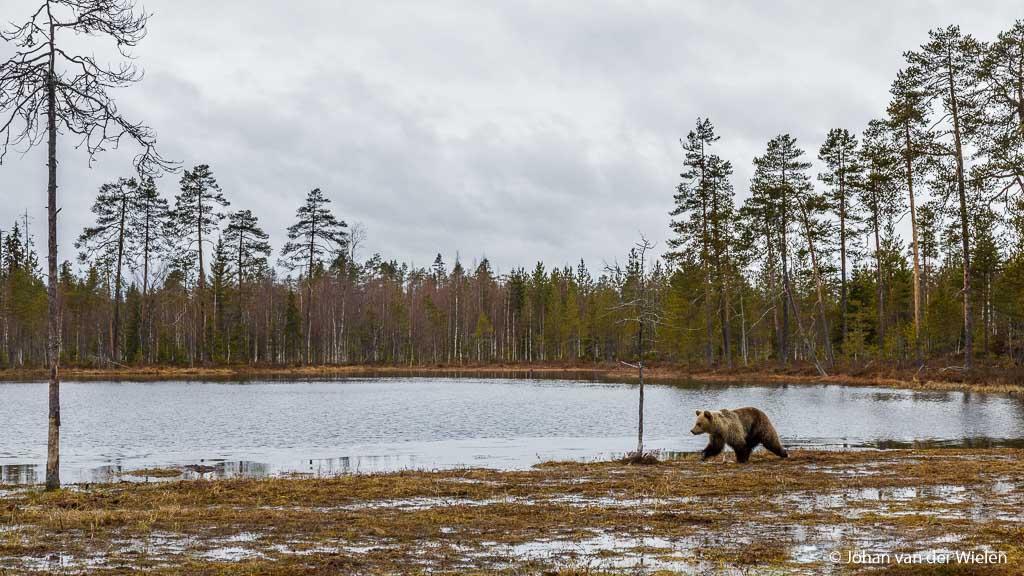Een wijder beeld om de beer in zijn natuurlijke omgeving te plaatsen