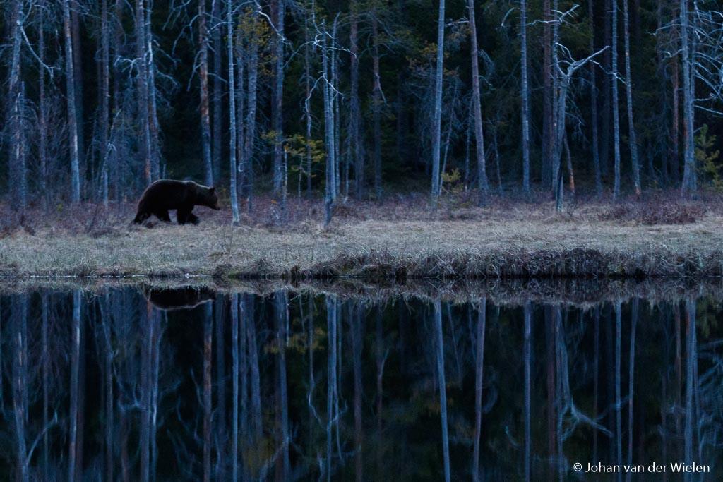 Spiegelend bos met beer in het blauwe 1,5 uurtje