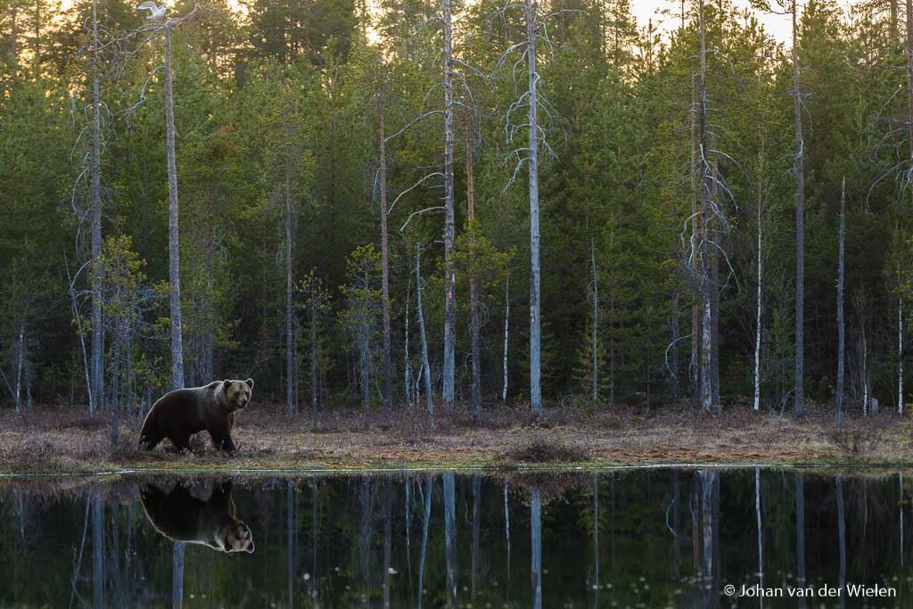 Na zonsondergang een landschappelijk beeld van de beer