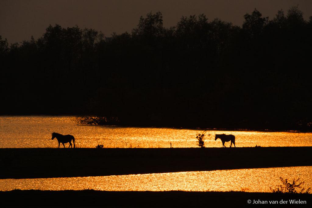 Paarden in gouden gloed. Ik ben er blij mee... wat anderen er ook van vinden.