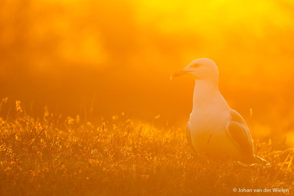 Golden seagull met toepassing gulden snede.